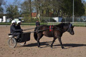 En av travskolans ponnyer, Druva.